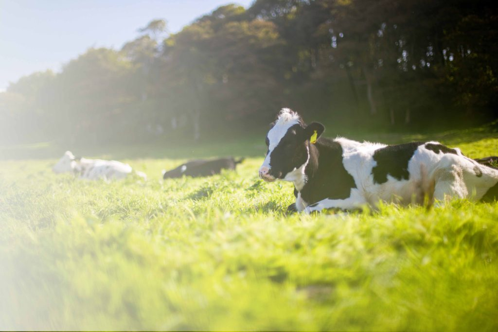 New Hampshire Dairy Cow Breeds